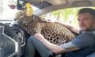 Báo hoa mai tuyệt thực vì nhớ nhân viên vườn thú