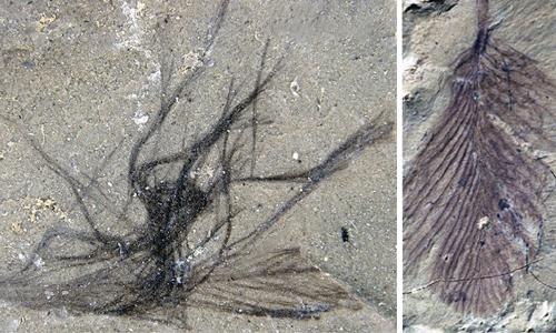 Một số lông khủng long hóa thạch ở Koonwarra. Ảnh: Science Alert.