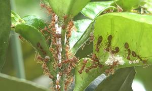 Nuôi kiến vàng diệt sâu bệnh trên cây bưởi