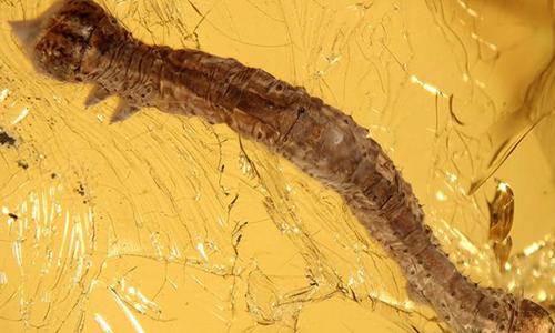 Hổ phách lưu giữ xác sâu bướm 44 triệu năm. Ảnh:  Deutsche Welle.
