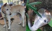 Hổ mang bị chó cắn đứt đôi thân vẫn ngóc đầu đe dọa
