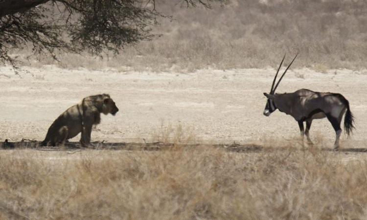 Linh dương sừng kiếm chạm trán sư tử. Ảnh: Mirror.
