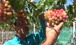 Thu nhập cao nhờ trồng nho ba màu