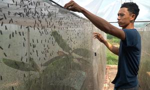 Nuôi ruồi lính đen kiếm gần nửa tỷ mỗi năm