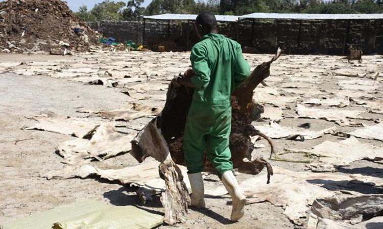 Một lò giết mổ lừa ở Kenya. Ảnh: Donkey Sanctuary.