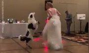 Chó nhảy cùng cô chủ trong đám cưới