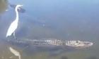 Cò trắng đứng trên lưng cá sấu dạo giữa dòng sông
