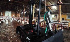 Robot giám sát gia cầm tự động