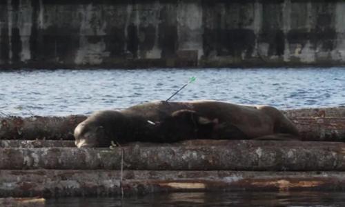 Sư tử biển bị thương nằm trên những thanh gỗ. Ảnh: CBC.
