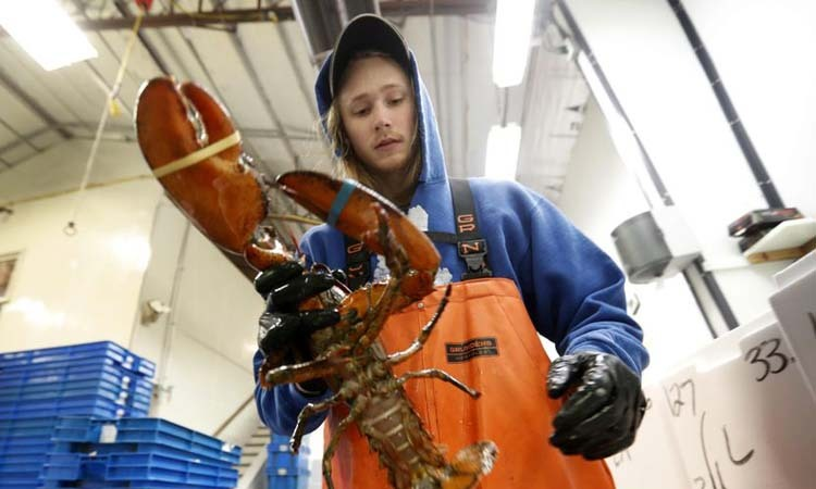 Nhân viên tại công ty TheLobster ở thị trấn Arundel, bang Maine, Mỹđặt tôm hùm vào thùng để xuất khẩu sang Trung Quốc hồi tháng 9/2018. Ảnh: AP.