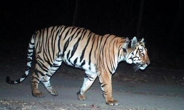 Con hổ đi qua hai bang ở Ấn Độ. Ảnh: BBC.
