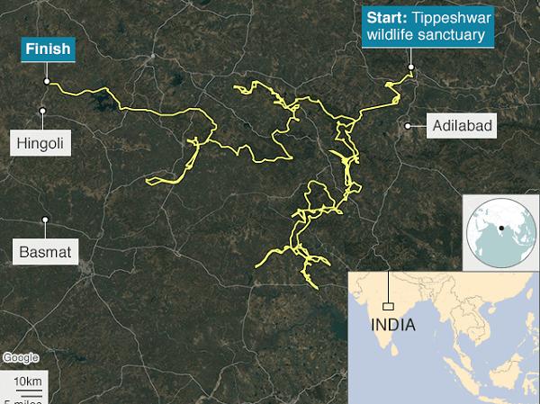 Hành trình của con hổ từ khu bảo tồn Tipeshwar. Ảnh: BBC.