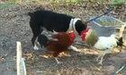 Hai thần kê bất lực trước sự can thiệp của chó nhà