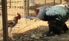 Trận chiến không tưởng giữa gà trống với đối thủ khổng lồ