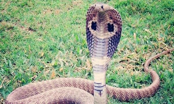 Con rắn hổ mang kiên trì đeo bám Guddu. Ảnh: PTI.