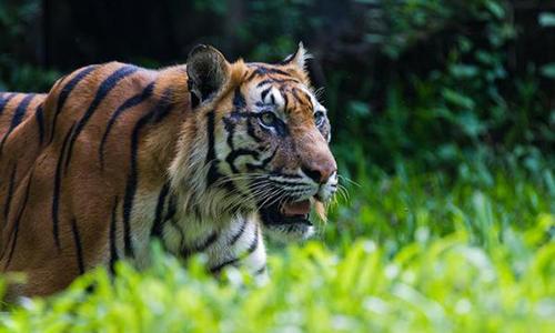 Hổ Sumatra xuất hiện tại đồn điền đe dọa tính mạng của nông dân. Ảnh: Greenpeace.
