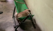 Cún cưng trèo lên võng ngủ ngon lành