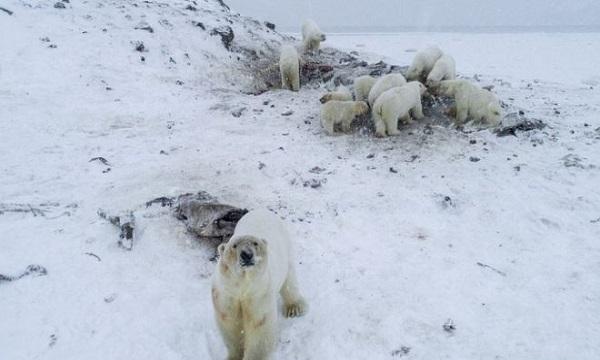 Đàn gấu Bắc Cực lục tìm thức ăn trong làng. Ảnh: BBC.