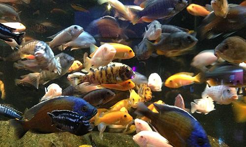 Bể cá hoàng đế tại thủy cung Oklahoma ở Jenks, Mỹ. Ảnh: Fox News.