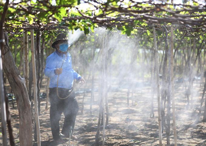 Vườn nho 'ba màu' ở Ninh Thuận