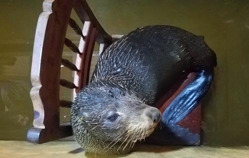 Con hải cẩu nằm trên ghế trong hầm nước đá. Ảnh: Võ Thạnh