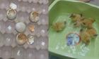 Trứng lộn nở ra một đàn vịt nhờ nắng nóng ở Sài Gòn