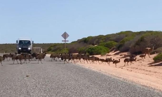 Đà điểu con nối đuôi nhau sang đường gây cản trở giao thông