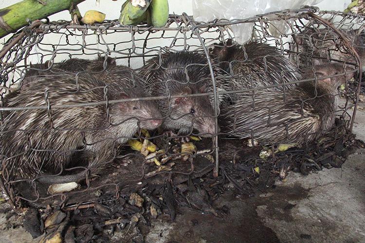 Số động vật rừng được nuôi nhốt không đảm bảo, khiến nhiều con kiệt sức. Ảnh: Quang Hà