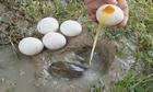 Đập trứng cho vào hang, thanh niên bắt trọn đàn cá lóc