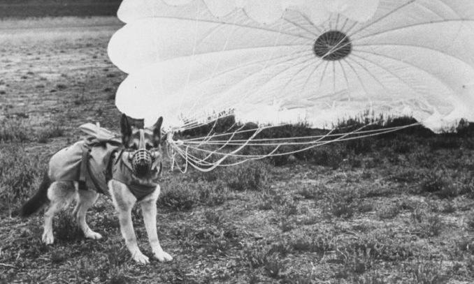 Một con chó trong quá trình huấn luyện nhảy dù. Ảnh: Der Spiegel.