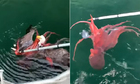 Đại bàng suýt chết đuối vì tham ăn bạch tuộc