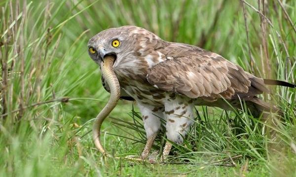 Chim diều nuốt chửng rắn hổ mang. Ảnh: Caters.