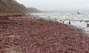 Hàng nghìn 'cá dương vật' dạt vào bãi biển California