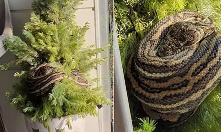 Con rắn lớn quấn trên cây thông Noel của gia đình Chapman ở bang Queensland, Australia hôm 12/12. Ảnh: CNN.