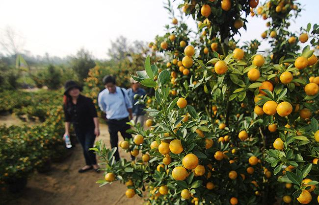 Vườn quất của ông Ninh năm nay cho quả đẹp hơn so với năm trước. Ảnh: Đắc Thành.