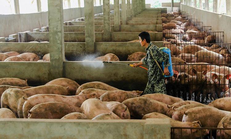 Người đàn ông phun nước cho lợn tạimột trại chặnnuôiở Trung Quốc. Ảnh: Reuters.