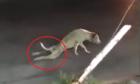 Chó giả tàn tật đứng lên khi thấy người lạ