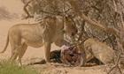 Sư tử non mồ côi mẹ liều mạng tranh ăn với dì ruột