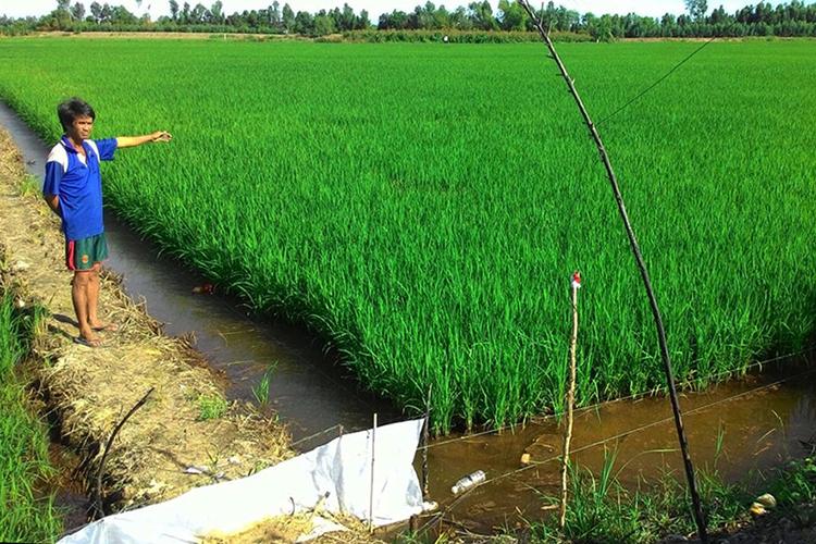 Ruộng lúa nơi ông Lưu tử vong. Ảnh: Quang Hà