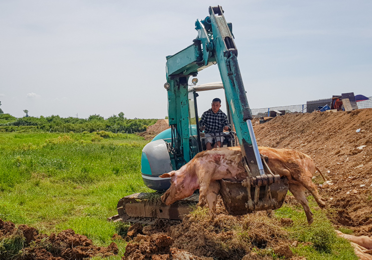 Tiêu hủy lợn bị bệnh tả châu Phi ở xã Thanh Bình (Chương Mỹ, Hà Nội) ngày 29/6. Ảnh: Tất Định.