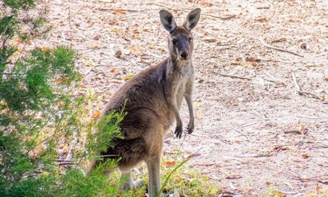 Cảnh sát địa phương chưa tìm thấy xác con kangaroo. Ảnh: BBC.
