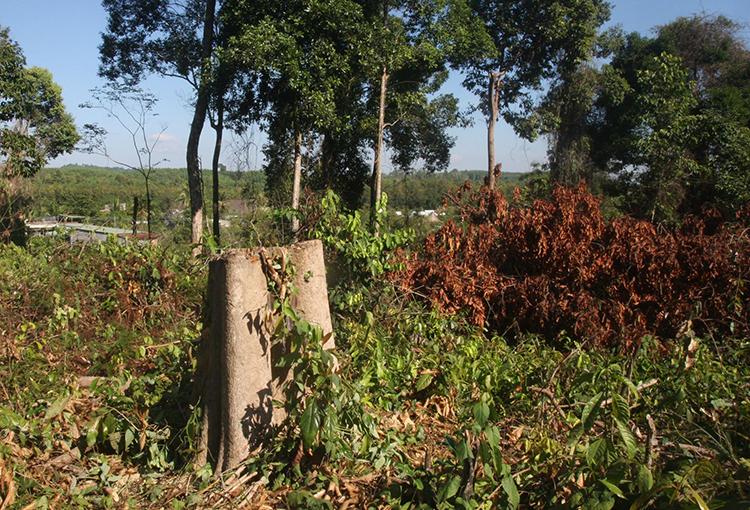 Khu rừng nơi bị triệt hạ 56 cây gỗ. Ảnh: Phước Tuấn