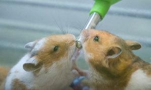 Mua chuột hamster chơi Tết