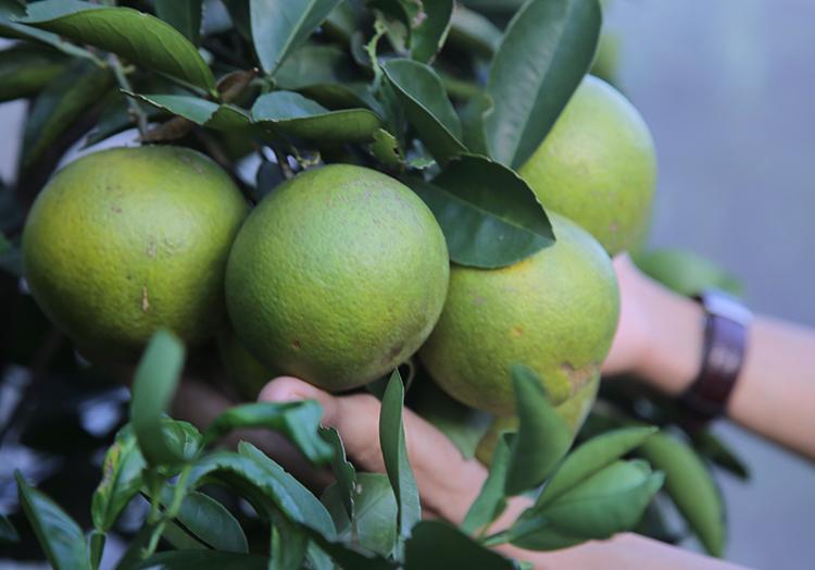 Tháng 12 đang là giữa vụ thu hoạch cam Khe Mây, giá bán 80.000 đồng một kg. Ảnh: Đức Hùng