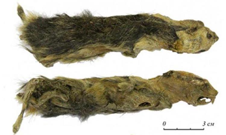 Xác chuột lemming được tìm thấy dưới tầng đất đóng băng vĩnh cửu ở Siberia. Ảnh: Metro.
