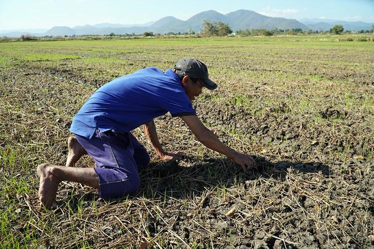 Ông Trần Văn Chuyển nói chỉ còn trông trời mưa xuống để cứu lúa vì nước thủy lợi qua cánh đồng Bình Phụ đã bị cắt. Ảnh: Việt Quốc.