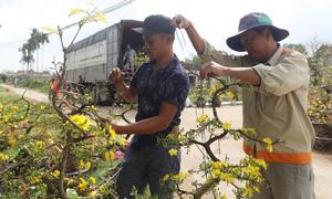 Làng hoa mai Bình Định vào vụ Tết