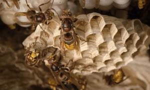 Chiếc tổ chứa hơn 700 con ong bắp cày