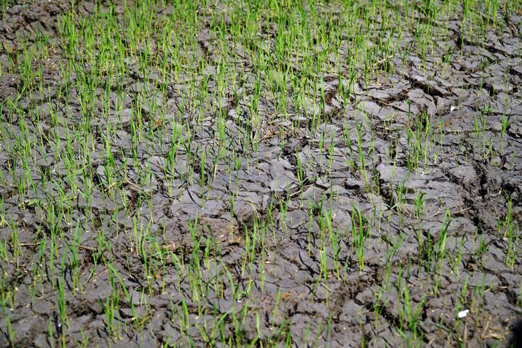 Lúa gieo ngoài kế hoạch ở cánh đồng Bình Phụ, xã Sông Bình không có nước tưới. Ảnh:Việt Quốc.