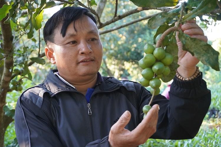 Ông Đinh Tất Thắng cho biết, vườn macca của gia đình cho thu nhập gần 2 tỷ đồng/năm. Ảnh: Trần Hóa.